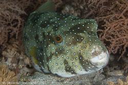 BD-141013-Komodo-4838-Arothron-hispidus-(Linnaeus.-1758)-[White-spotted-puffer].jpg